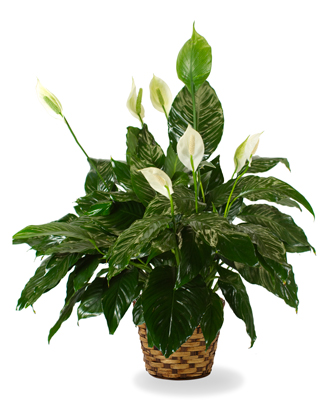 The Peace Lily